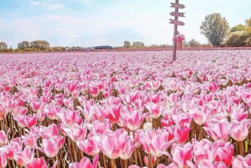 キューケンホフを越えるFAM FLOWER FARMのチューリップ畑
